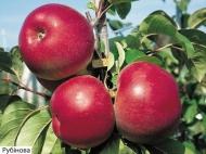 Яблоня зимняя Рубиновая