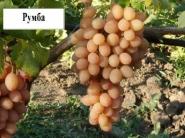Виноград Румба