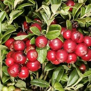 "Брусника ""Руно Белявское""\Vaccinium vitis-idaea""Runo Bielawskie"""