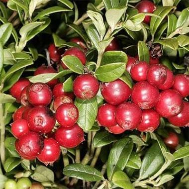 Брусника Руно Белявское\Vaccinium vitis-idaea Runo Bielawskie