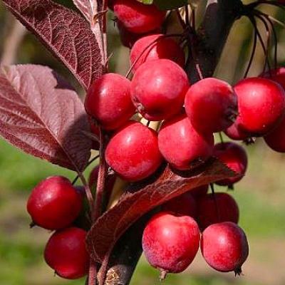 Колоновидная красномясая краснолистная райская яблоня Мковесски
