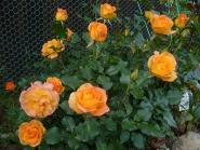 Роза Сахара (шраб)