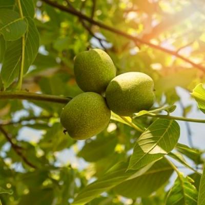 Грецкий орех Казаку