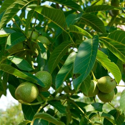 Грецкий орех Песчанский