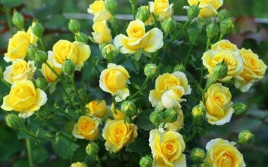 Роза миниатюрная Сан Сити