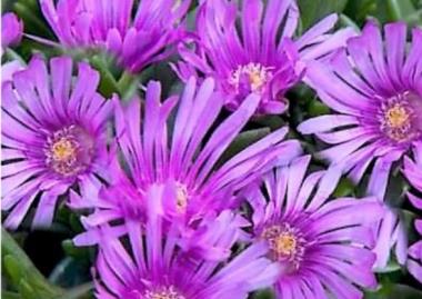 Делосперма Санделла Лавендр Sundella Lavender
