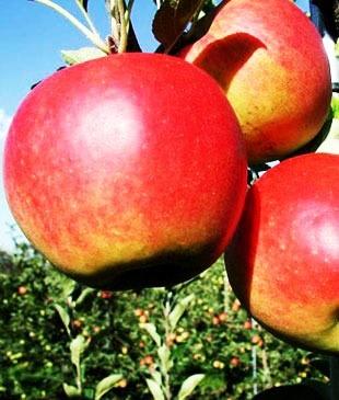 Яблоня Сансе (летнее)