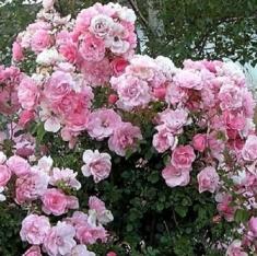 Роза флорибунда Санта Моника\Santa Monika