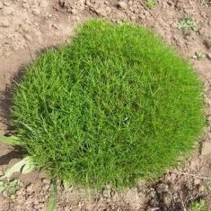 Сантолина зелёная