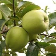 Яблоня Сапфир (зимнее)