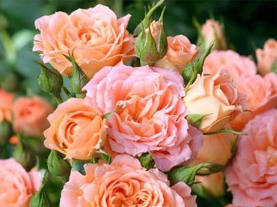 Роза миниатюрная Сара