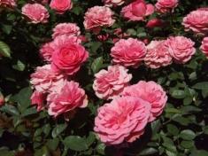 Роза бордюрная Амулетт
