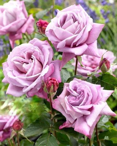 Роза чайно-гибридная Сент Экзюпери