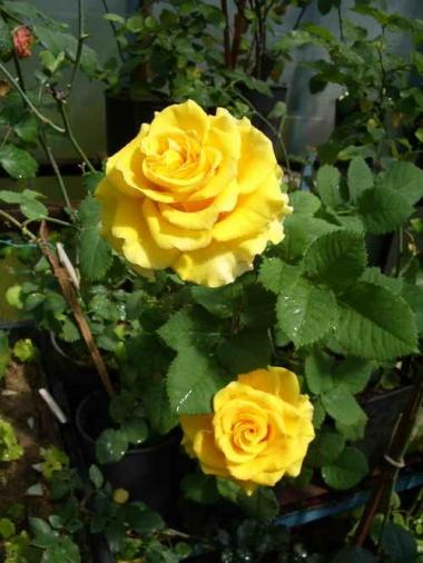 Роза миниатюрная Сфинкс голд\Sphinx Gold