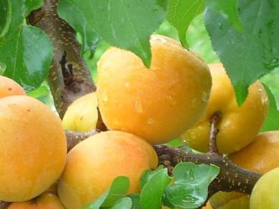 Абрикос ананасный Шалах (средний)