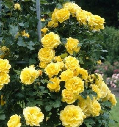 Роза плетистая Голден Шауэрс