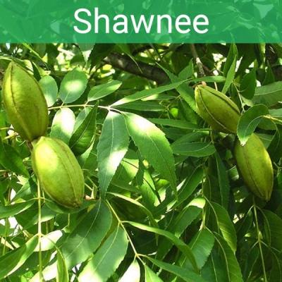 Oрех пекан Shawnee