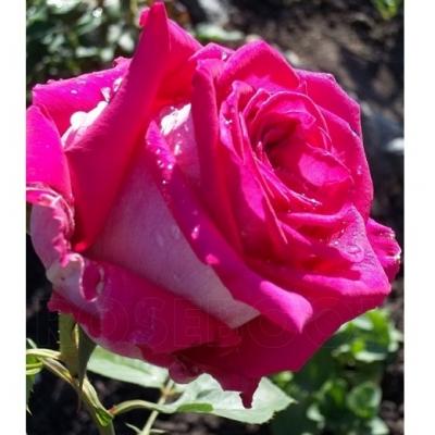 Роза чайно-гибридная Шейла