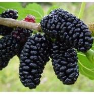 Шелковица чёрная Шелли