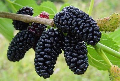 Шелковица чёрная Чёрный Принц