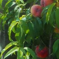 Колоновидный персик Штайнберг