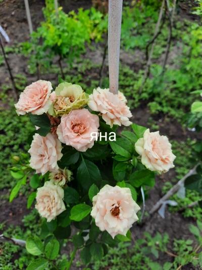 Роза штамбовая Яна