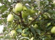 Яблоня Синап Белый