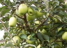 Яблоня Синап Белый ,осеннее