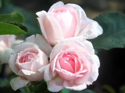 Роза парковая Синдерелла