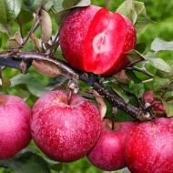 Яблоня красномясая Сирена