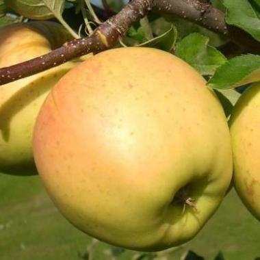 Яблоня Сириус (зимнее)