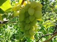Виноград Сиртаки