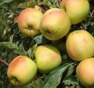 Яблоня Скифское Золото (осеннее)