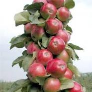 Яблоня колоновидная Скорпион