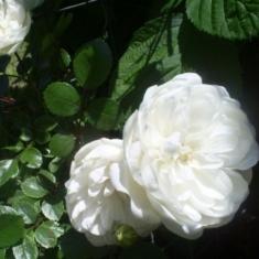 Роза почвопокровная Снежный ком