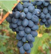 Виноград Черная Вишня