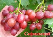Виноград Софиевский
