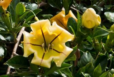 Соландра, Гавайская лилия