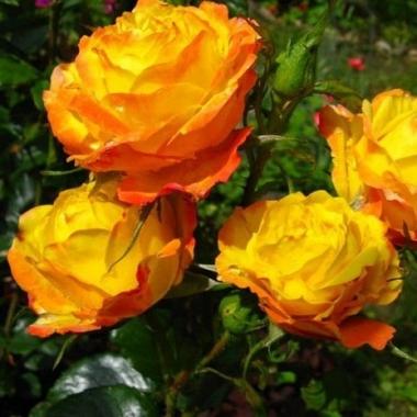 Роза флорибунда Солнечная девочка