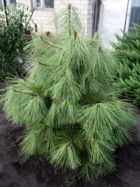 Сосна желтая / Pinus ponderosa (25-30см, контейнер)