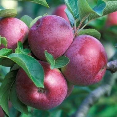 Яблоня Спартан (зимнее)