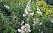 Спирея иволистная белая \ Spiraea salicifolia