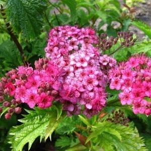 Спирея японская Криспа \ Spiraea japonica Crispa
