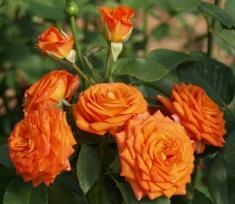 Роза миниатюрная Бейб
