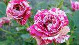 Роза бордюрная Старс энд Страйпс