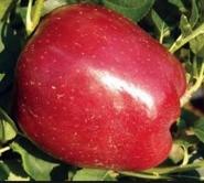 Яблоня зимняя Старкрымсон