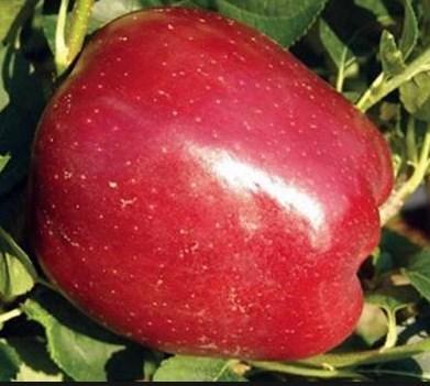 Яблоня Старкрымсон