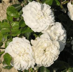 Роза почвопокровная Суоми