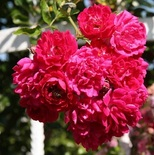 Роза плетистая Супер Эксцельза