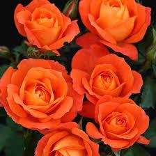 Роза флорибунда Супер Трупер\Super Trouper